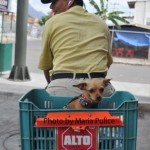 Yo Quiero Taco Bell- Authentic Mexican Chihuahua
